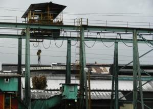 96 dpi 5x7 Sugar Cane Plant 1